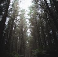 L - Ryan Clark - Forest Trees.jpg