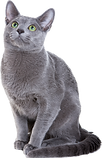 Russian-blue-cat.png
