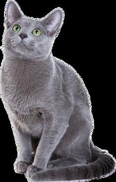 Russian-blue-cat.png