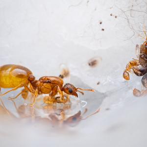 Solenopsis Molesta queen and workers