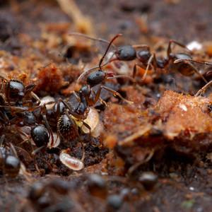 Aphaenogaster Rudis Workers and brood