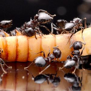 Crematogaster Cerasi workers eating a mealworm