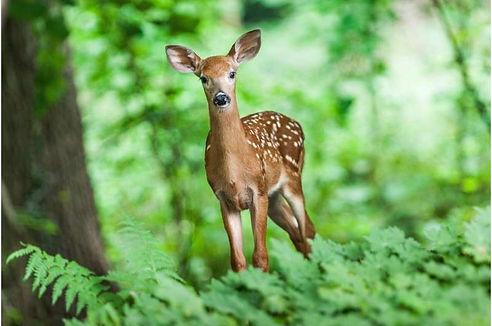 The deer 02.jpg