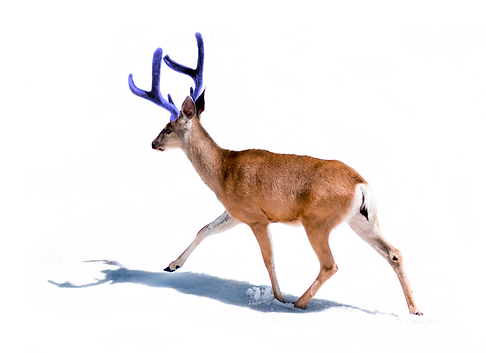 cerf f blanc.png