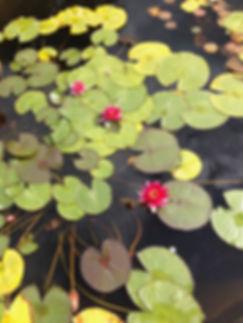 Waterlillies_Caroline Draper