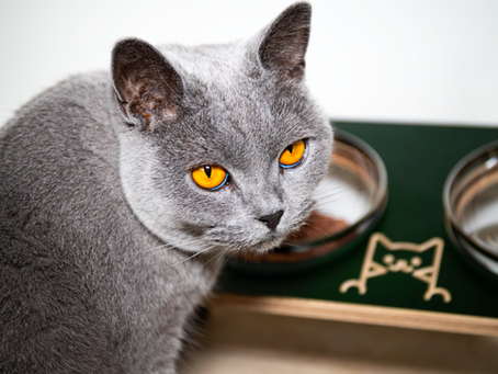 Why You Should Be Elevating Your Kitties Food & Drink
