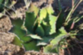 cultivated_tobala2.JPG