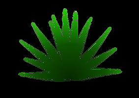Agave Espadín (agave angustifolia)