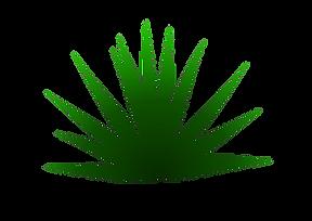 Agave Espadin Capon (agave angustifolia)