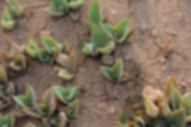 Agaves_less_than_6_months_old6.JPG