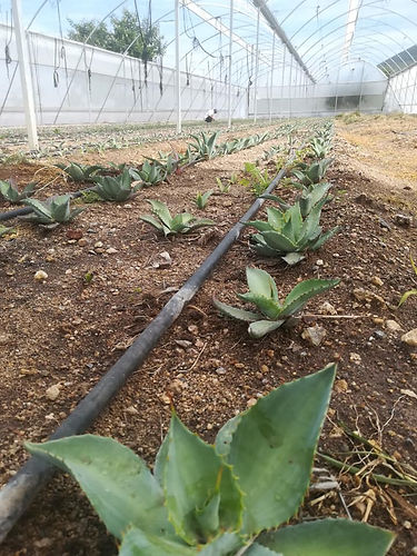 Mezcal Noble Coyote - Young agaves in the greenhouse