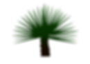 Agave Coyote (agave karwinskii latrans)