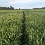 irrigated wheat