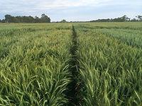 irrigated wheat.jfif