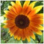 sunflower(small).jpg
