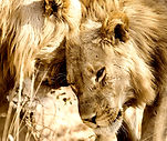 Safari photo en Zambie.jpg