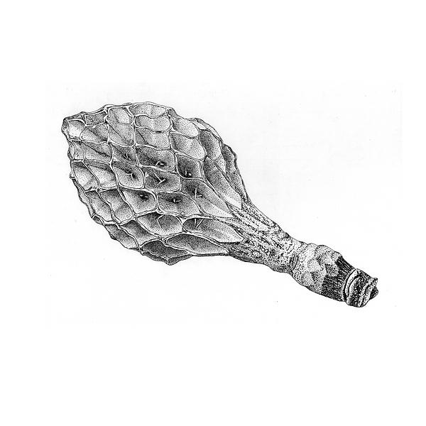 wissenschaftliche Zeichnung 3.png