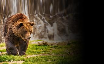 Brown Bea | Bear Watching Tour Tranylvania