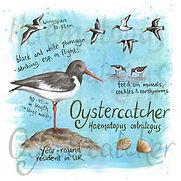 Oystercatcher SQUARE.jpg