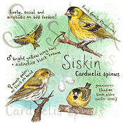 Siskin greeting card design.jpg