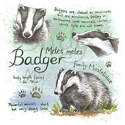 Badger greeting card.jpg
