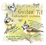 crested tit square.jpg