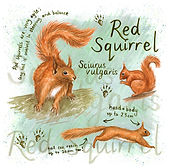 Red squirrel square compressed.jpg