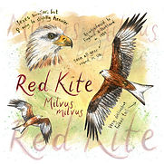 Red Kite SQUARE.jpg