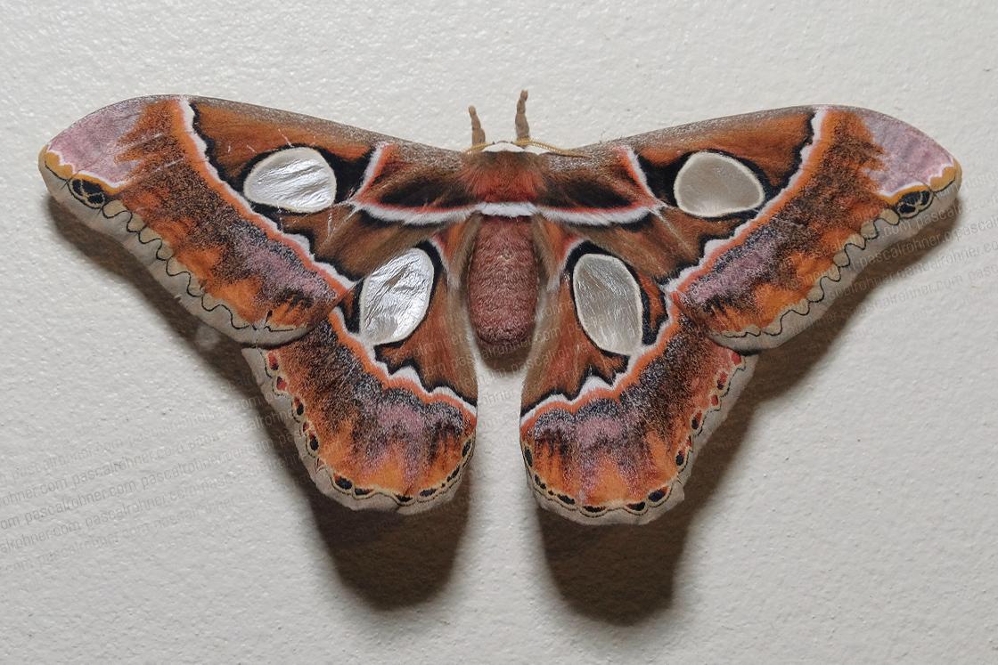 orange moth-a