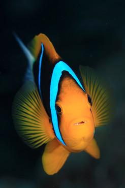 anemone_fish_palau_l.jpg