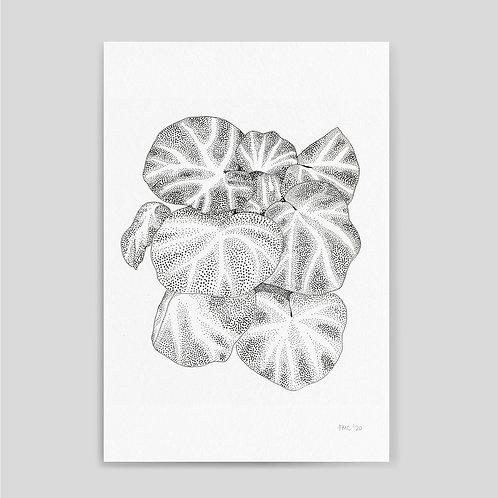 Francesca Molinari: Begonia