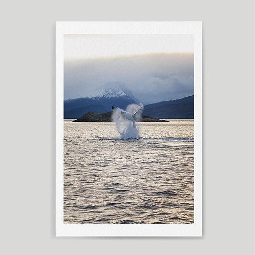Jainnen: Humpback whale breaching in the Beagle channel