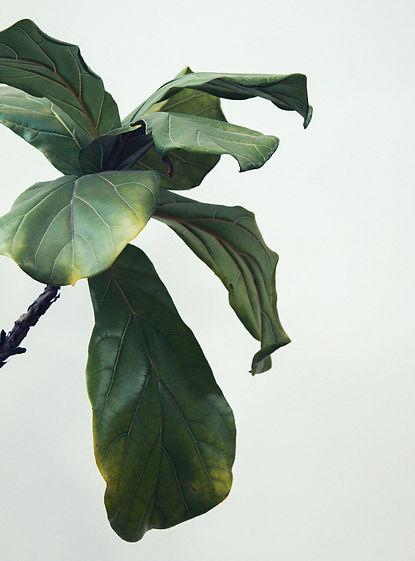 large leaf plant cropped.jpg