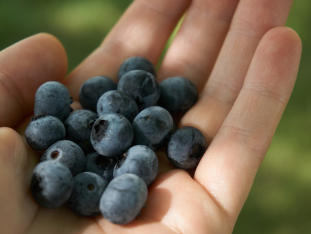 Watching myself pick Blueberries
