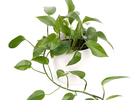 Indoor Plants for Little to No Light