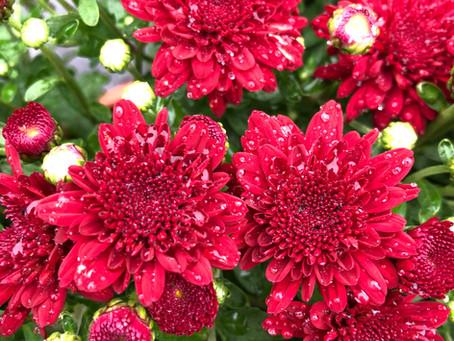 Chrysanthemums Bring Joy