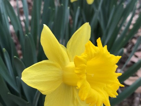 Flowering bulbs for the garden & gifts