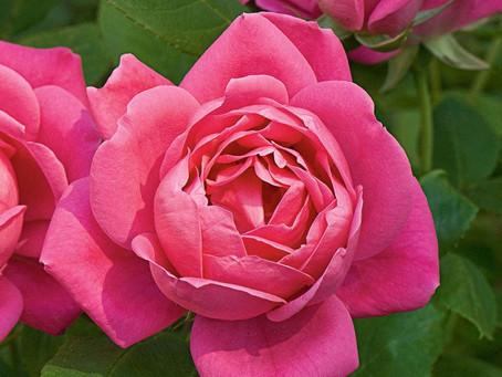 Knockout Roses are Elegant