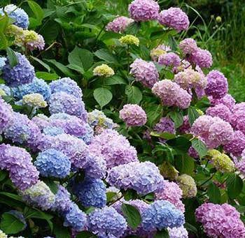 Romantic Hydrangeas as Cut Flowers