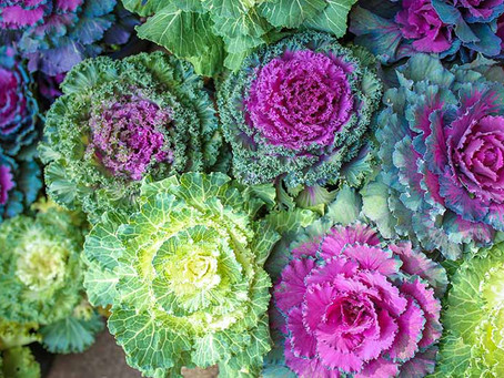 Ornamental cabbage is our second most popular Fall pick