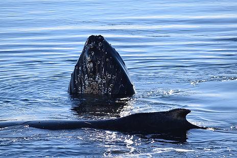 南極のザトウクジラ