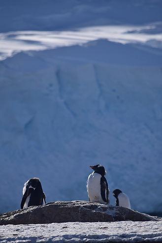 南極半島ネコ湾のペンギン