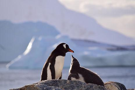 クーバービル島のジェンツーペンギン
