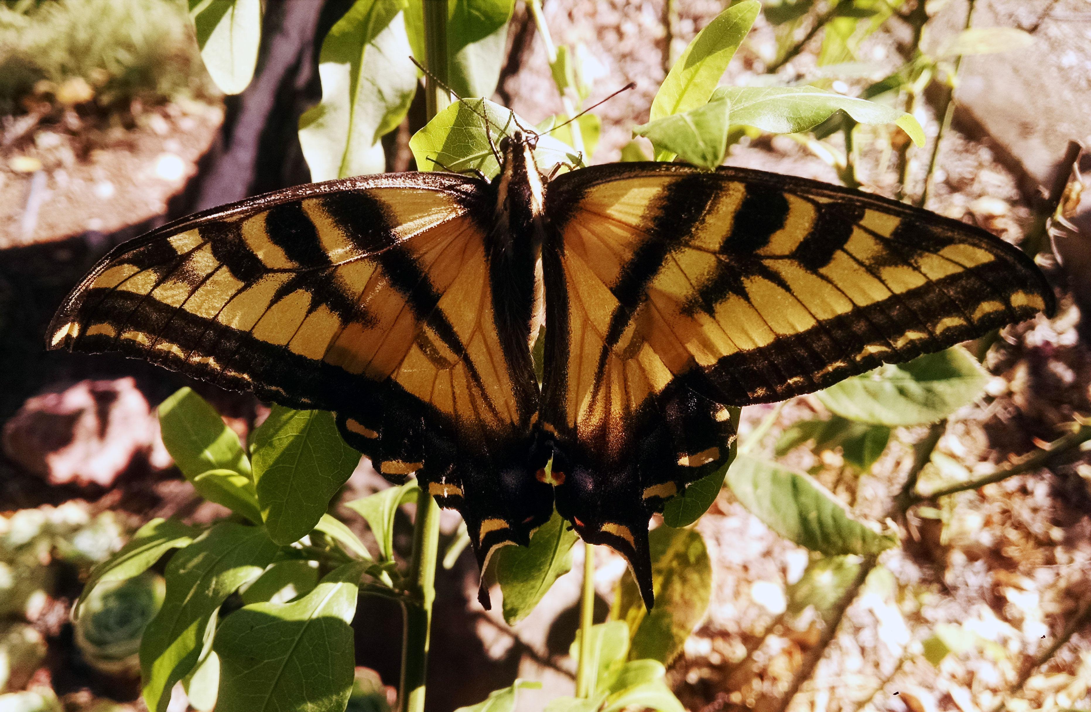 Swallowtail-close-up