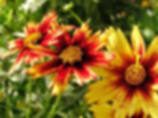red shift coreopsis.jpg