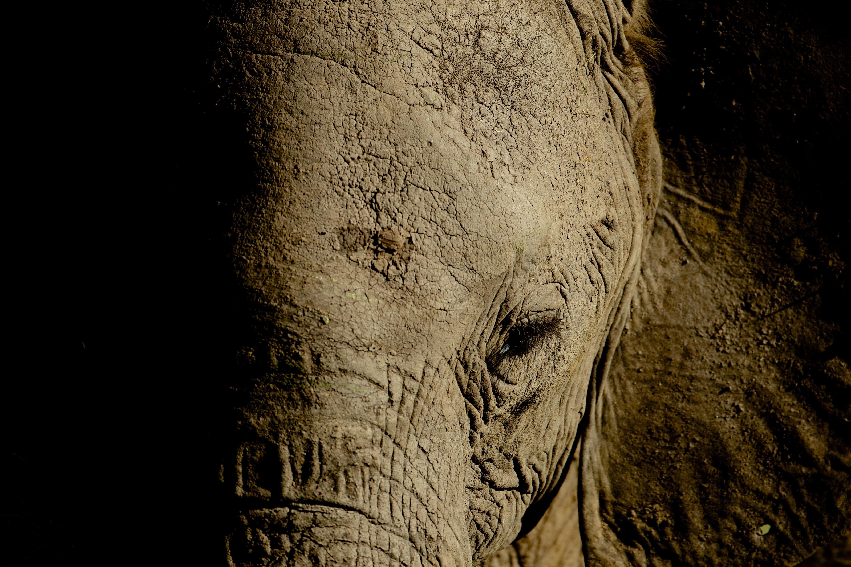 Gros plan d'éléphant #3