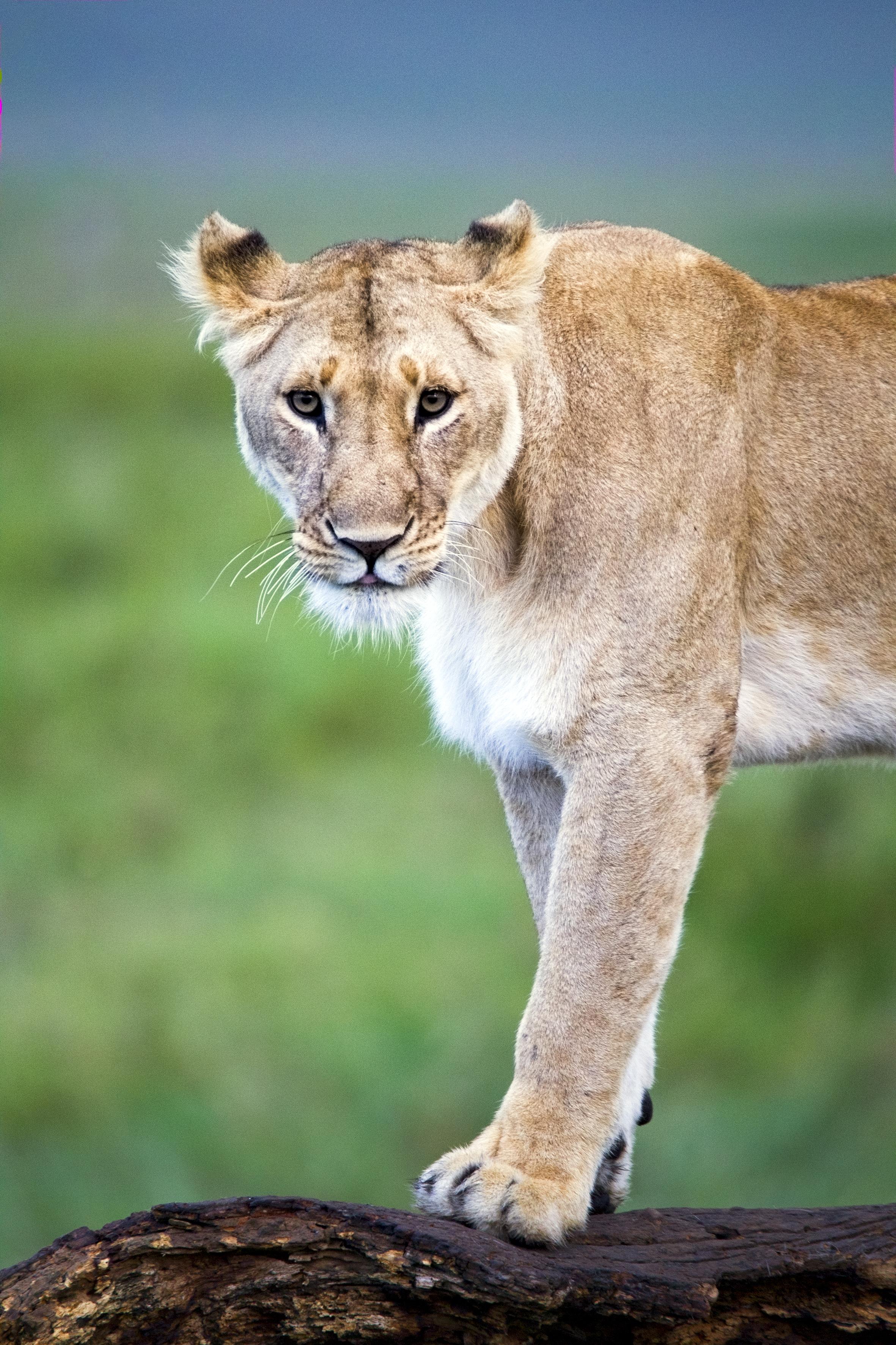 Lionne Model
