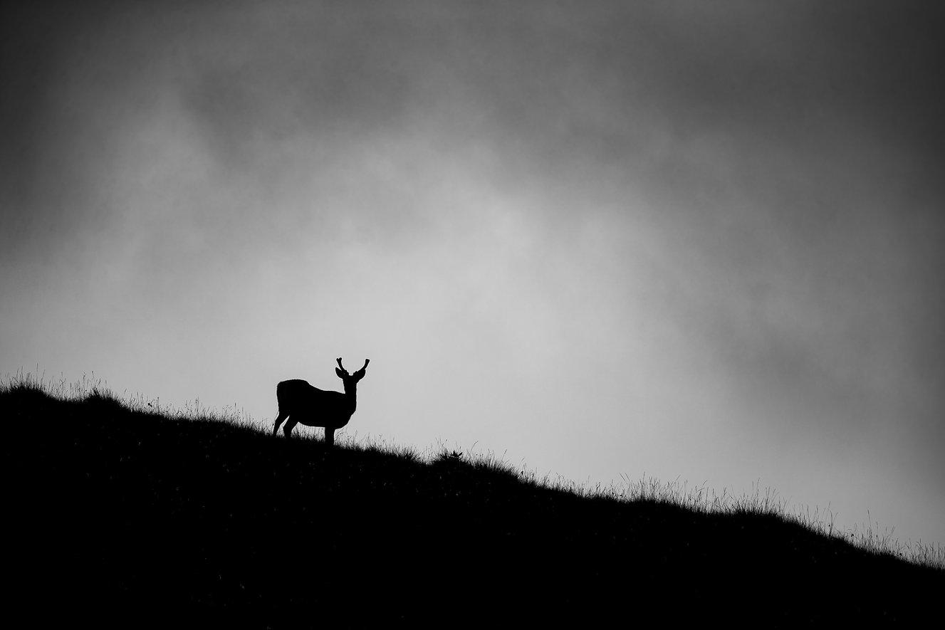 Isle of Jura, Scotland, deer, red deer, nature