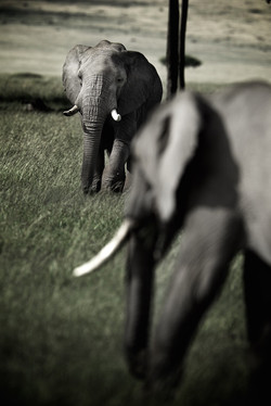 Flou d'éléphants