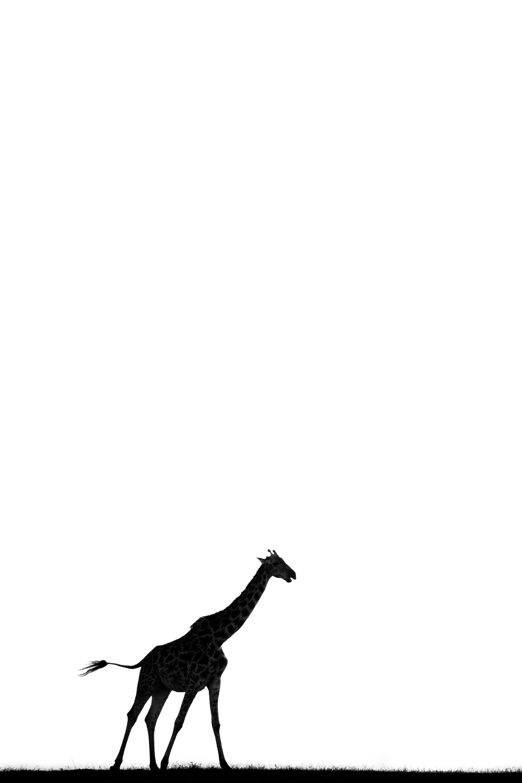 Ombre de Girafe